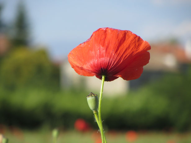 Poppy (Photo Source: http://www.publicdomainpictures.net/view-image.php?image=22356&picture=poppy-looking-away)