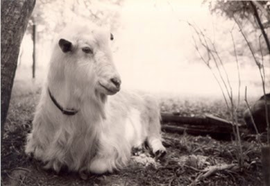 goat of the goat lady
