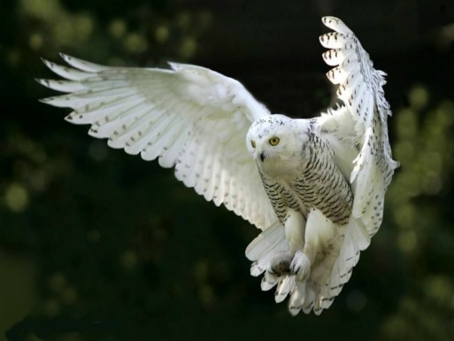 Snowy owl in mid-flight