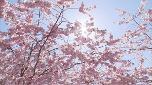Pink blossoms under a blue sky