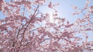 Pink blossoms under a blue sky