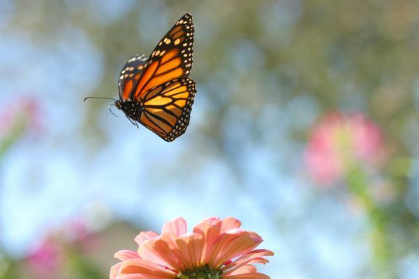 flying-monarch-steve-augustin - SevenPonds BlogSevenPonds Blog  flying-monarch-...
