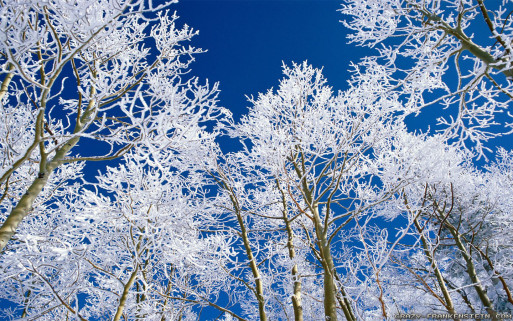 looking up at the sky through trees covered in snow