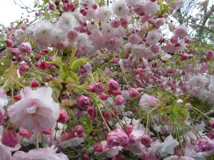 Pink apple blossoms remind us of life, death and rebirth