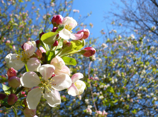 Closeup of an apple blossom representing release from suffering and fear