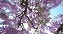 Looking up through wisteria reflects hope of Alzheimer's sufferers