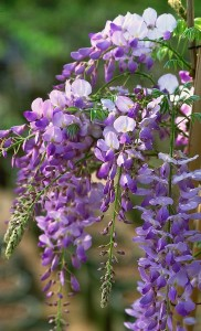 Weeping wisteria vine reflects dementia diagnosis