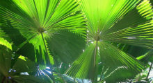palm-fronds-300x214