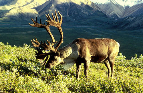 caribou on mountain undisturbed by grief