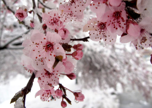 Cherry blossoms covered in ice and snow show perseverance through palliative care