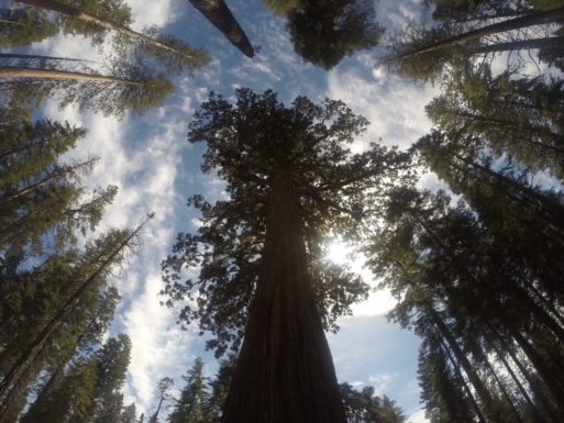 Sequoia trees against sky- hope with second opnion