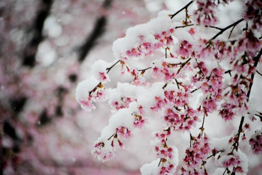 Palliative care symbolized by snow covered cherry blossoms