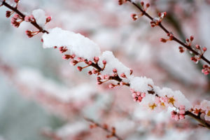 snow on a cherry branch signifies healing through palliative care