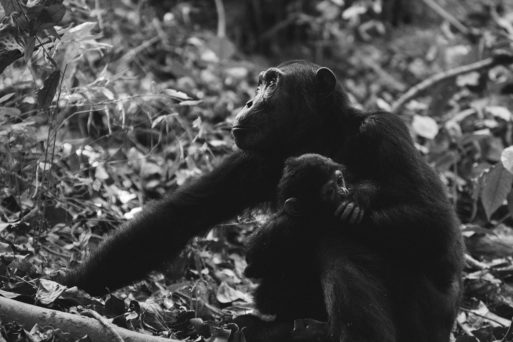 Chimpanzee holding an infant chimpanzee