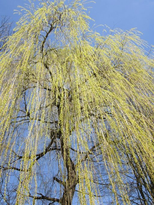 Willow tree looks melancholy like caregivers