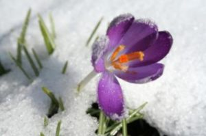 crocus breaking through ice shows struggle with addiction