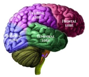 illustration of brain regions in colors