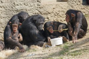 Group of chimpanzees sitting and eating