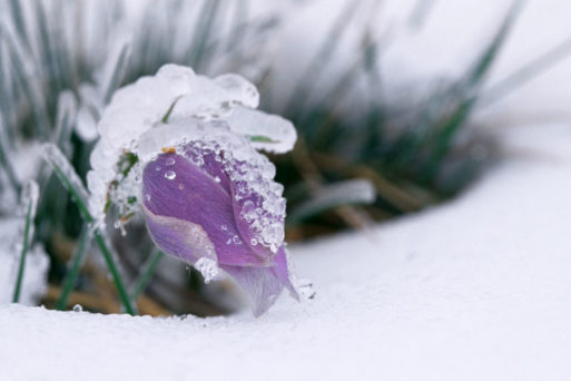 Crocus flower coming through ice addiction