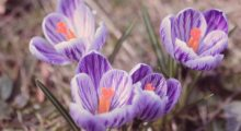 crocus in late spring addiction recovery