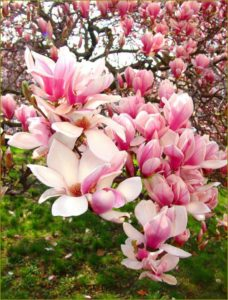 Close up of magnolia blossoms