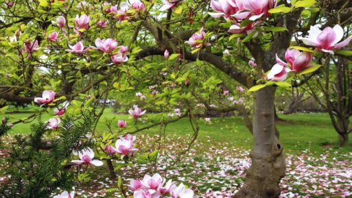 Pink magnolia tress with blossoms falling symbolizes chronic pain