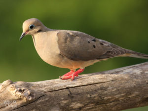 A gray mourning dove