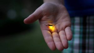 A man holds a firefly