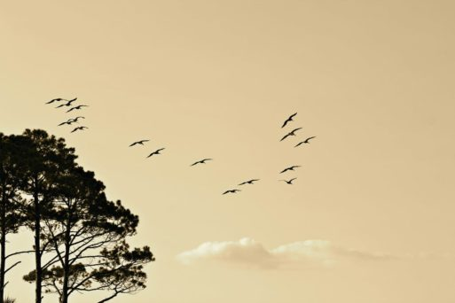 A flock of birds fly next to a tree at sunset