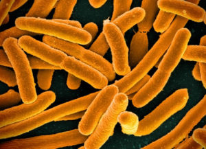 A close up photo of the E. Coli bacteria, an infection that can be prevented with a high-fiber diet