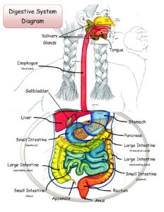Diagram of GI tract which benefits from high-fiber diet