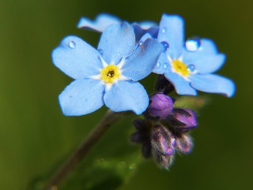 A photo of a blue forget-me-not flower in bloom, grown from forget-me-not memorial seed packets