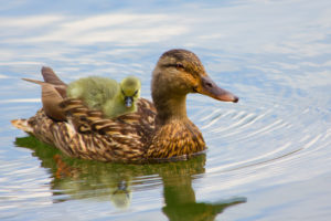 An image of a duck and its duckling