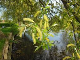 Willow tree with buds over water is not usually a symbol of bravery