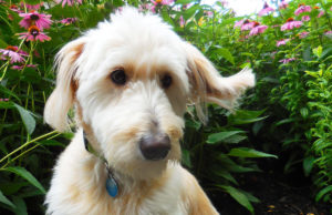 Portrait of Rocky the Goldendoodle from Bartolomeo and Perotto Funeral Home