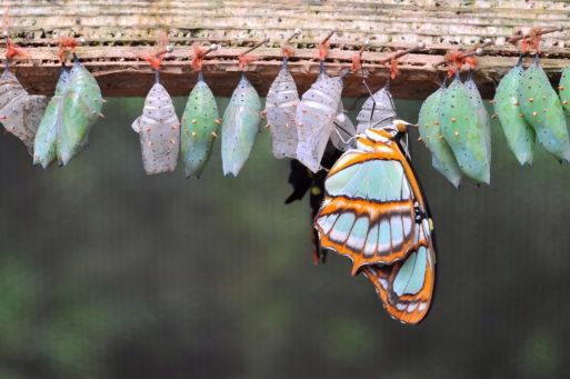 Caterpillars transforming to butterflies