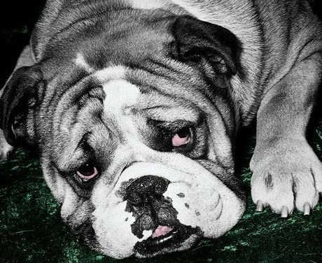 A sad bulldog from The Blue Day Book